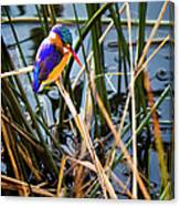 African Pigmy Kingfisher Canvas Print
