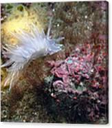 Alabaster Nudibranch Canvas Print