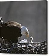 An American Bald Eagle And Chick Canvas Print