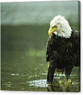 An American Bald Eagle Stares Intently Canvas Print