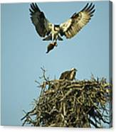An Osprey Carrying A Fish Back Canvas Print
