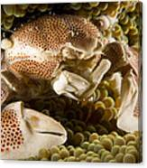 Anemone Or Porcelain Crab In Its Host Canvas Print