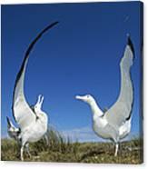 Antipodean Albatross Diomedea Canvas Print