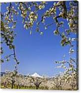 Apple Blossom Trees In Hood River Canvas Print
