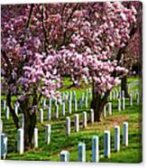 Arlington Cherry Trees Canvas Print