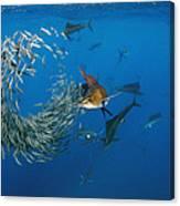 Atlantic Sailfish Istiophorus Albicans Canvas Print