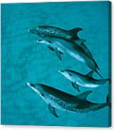 Atlantic Spotted Dolphins Canvas Print