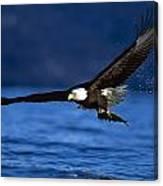 Bald Eagle Haliaeetus Leucocephalus Canvas Print