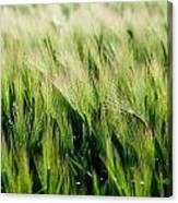 Barley, Co Down Canvas Print