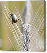 Beetle On The Wheat Canvas Print