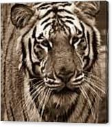 Bengal Tiger On The Prowl Canvas Print