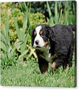 Bernese Mountain Dog Puppy Portrait Canvas Print