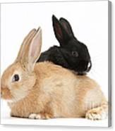 Black And Sandy Rabbits Canvas Print