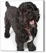 Black Bichon-cocker Spaniel Dog Canvas Print