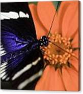 Blue And White Longwing Canvas Print