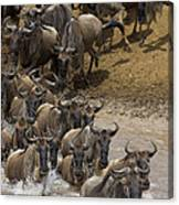 Blue Wildebeest Connochaetes Taurinus Canvas Print