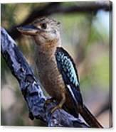 Blue-winged Kookaburra Canvas Print