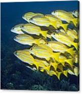 Blueline Snappers Canvas Print