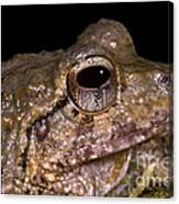 Bobs Robber Frog Canvas Print