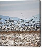 Bombay Beach Birds Canvas Print