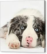 Border Collie Pup Canvas Print