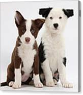 Border Collie Puppies Canvas Print