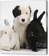 Border Collie Pups With Black Rabbit Canvas Print
