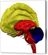 Brain Anatomy Canvas Print