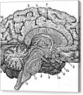 Brain Cross-section Canvas Print