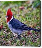 Brazillian Red-capped Cardinal Canvas Print