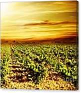 Bright Sunset At Vineyard Canvas Print