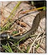 British Grass Snake Canvas Print