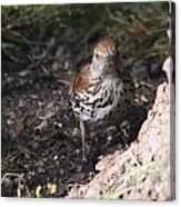 Brown Thrasher Canvas Print