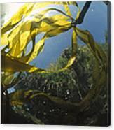 Bull Kelp Underwater Clayoquot Sound Canvas Print