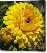 Calendula Named Bon-bon Yellow Canvas Print