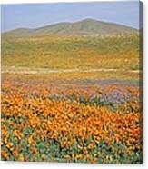 California Poppies Fill A Landscape Canvas Print