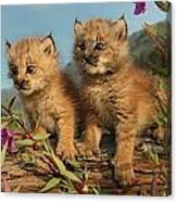 Canadian Lynx Kittens, Alaska Canvas Print