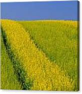 Canola Field, Darlington, Prince Edward Canvas Print