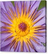 Cape Blue Waterlily Nymphaea Capensis Canvas Print