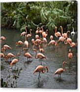 Caribbean Flamingos At The Zoo Canvas Print