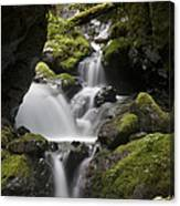 Cascading Creek In Temperate Rainforest Canvas Print