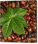 Castor Bean Leaf And Seeds Canvas Print