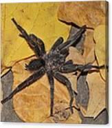 Chaetopelma Olivaceum Canvas Print