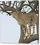 Cheetah Acinonyx Jubatus Female Canvas Print