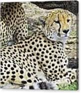 Cheetahs Resting Canvas Print