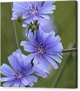 Chicory Canvas Print