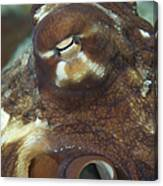 Close-up View Of A Common Octopus Canvas Print