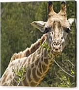 Close View Of A Giraffe Canvas Print