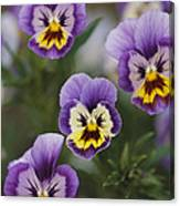 Close View Of Pansy Blossoms Canvas Print