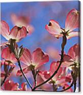 Close View Of Pink Dogwood Blossoms Canvas Print
